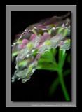 2012 - Verbena - Lanai Twister Pink