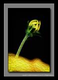 2012 - Bidens - Namid Compact Yellow