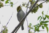 Black-throated Green Warbler (hybrid?)