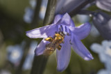Bee on a Bluebell