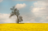 Lone tree in a field of yellow