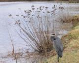 Startled Heron
