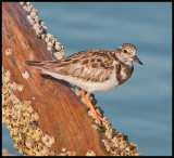 plover on driftwood.jpg
