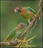 brown-hooded parrot copy.jpg