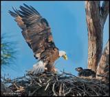 eagle adult w chick.jpg