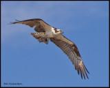 osprey flying  w fish.jpg