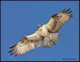 osprey in flight.jpg