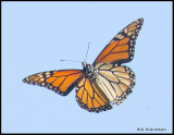 butterfly in flight.jpg