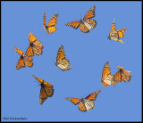 flying butterfly composite.jpg