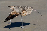 long billed curlew preening.jpg