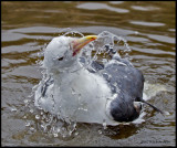 herring gull bathing.jpg