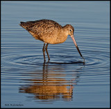long billed curlew feeding.jpg