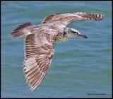 Herring gull immature in flight.jpg