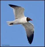 Laughing gull in flight.jpg