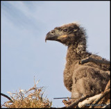 eagle chick.jpg