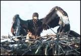 eagle chick2.jpg
