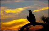 eagle sunset.jpg