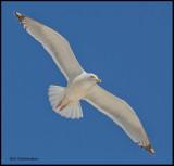 herring gull in flight.jpg