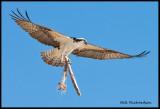 osprey w stick.jpg