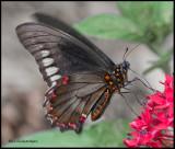 polydamas swallowtail.jpg
