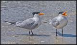 royal tern 2.jpg
