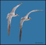 royal tern banking pair.jpg