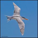 royal tern breeding plumage.jpg