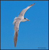 royal tern juvenile in flight.jpg