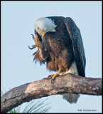 scratching eagle.jpg