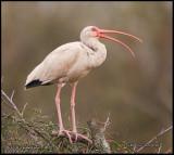 young ibis.jpg