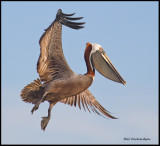 brown pelican in flight.jpg
