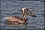 brown pelican in water.jpg