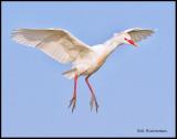 cattle egret landing.jpg