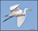 great egret flying.jpg