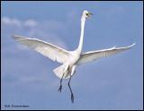 great ewgret squacking landing.jpg