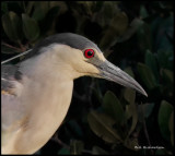 night heron portrait.jpg