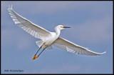 snowy egret in flight.jpg