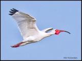 white ibis breeding colors in flight.jpg
