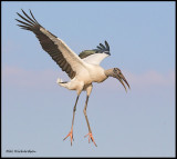 wood stork 2.jpg