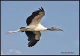 wood stork flat out.jpg