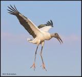 wood stork landing 2.jpg