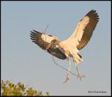 wood stork with nesting stick.jpg