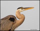 great blue heron portrait.jpg