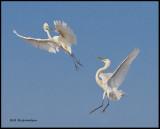 battling egrets.jpg