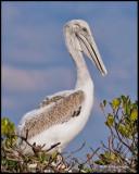 young brown pelican.jpg