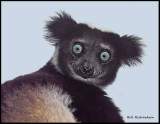 Indri Lemur portrait.jpg