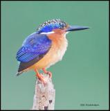 Malachite Kingfisher.jpg