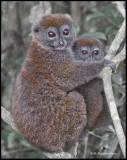 bamboo lemur mother and baby.jpg