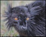 black lemur.jpg