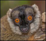 brown lemur portrait.jpg
